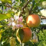 Im Obstgarten Ist Selbstbedienung